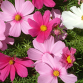Cosmos Sonata Mixed