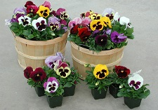 """title=""""potted colour, grown by us"""" onmouseover=""""this.title=´´;"""""""