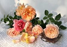 roses, new seasons, English, David Austin