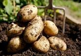 Seed, Potatoes,