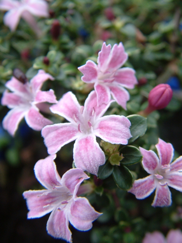 Oderings Garden Centre Perennial Serissa Pink Mystique