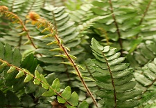 Houseplants Ferns
