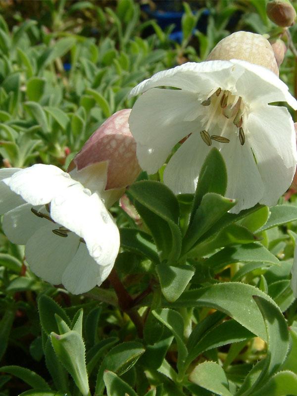 Oderings garden centre perennial silene uniflora white bells silene uniflora white bells mightylinksfo