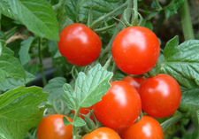 Tomato, packs