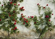 roses, climbing, old fashioned, new seasons